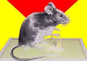 Крыса в ловушке